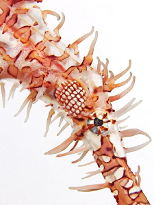 Harlekin Ghostpipefish in front of a white background by Henry Jager 